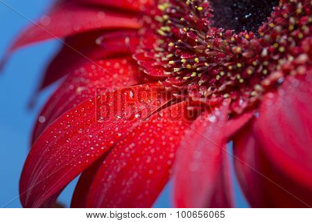 Fresh wet gerbera flower close-up at spring.