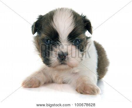 Puppy Shitzu