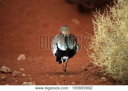 Arabian Buff-crested Bustard, Juvenile
