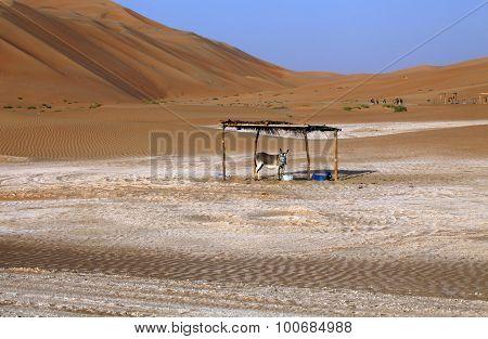 Donkey resting in the dunes of Liwa oasis United Arab Emirates
