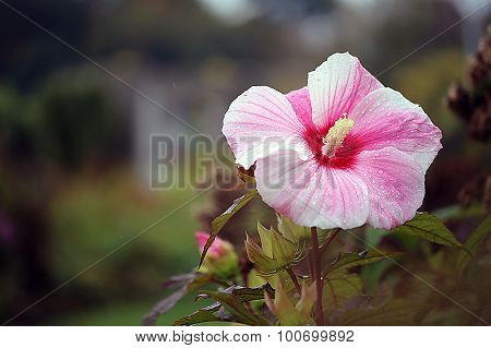 Hibiscus - Mallow - Kopper King