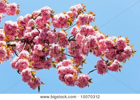 Pink  Japanese Cherry Blossom