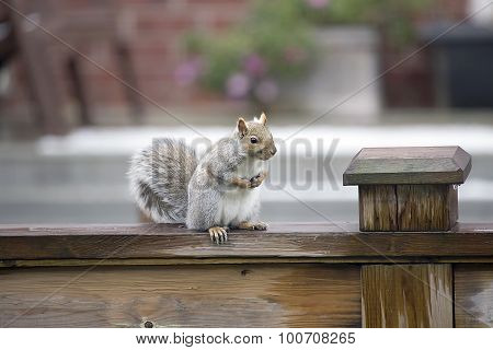 Eastern Grey Squirrel - Sciurus carolinensis