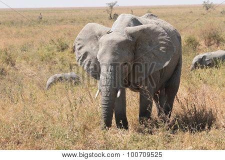 Adolescent African Elephant