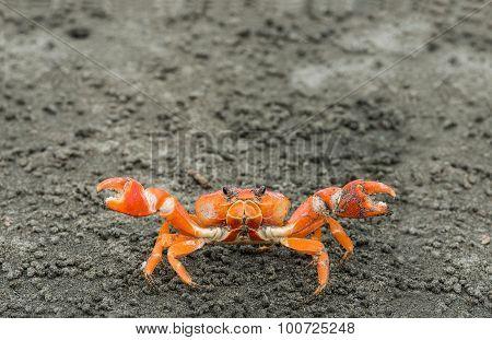 Red Cliff Crab, Ecuador