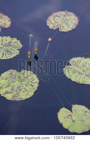 Pond With Lilypads