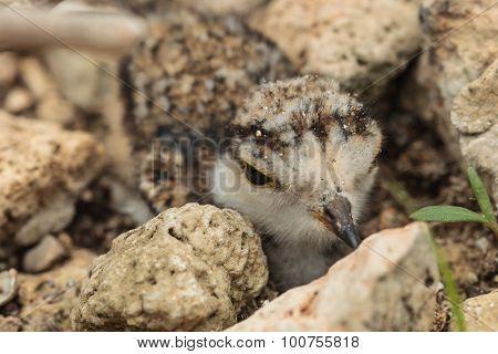Ringed Plover ( Charadrius Dubius ) Hiding Among The Stones