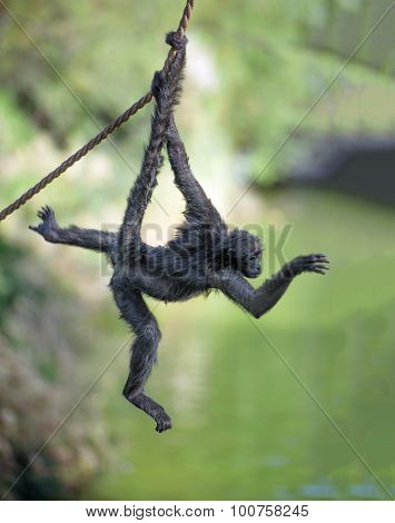 Spider Monkey On A Rope