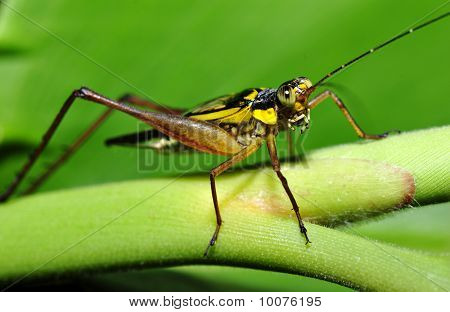 Macro of cricket