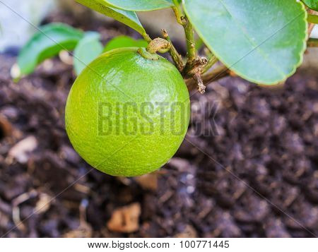 Green Lemon On Tree