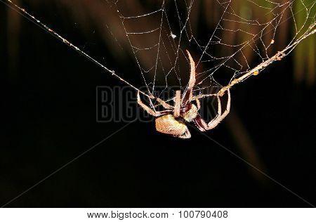 Huntsmen spider in Australia