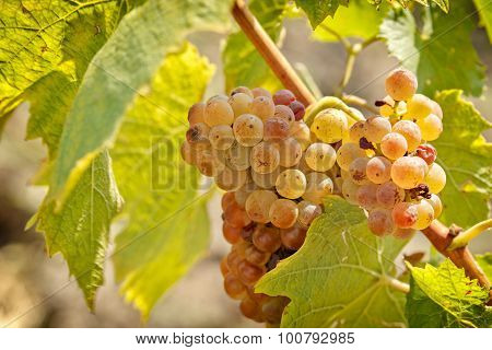Riesling grape close - up