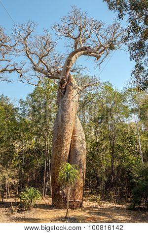 Baobab Lovers - Amoureux