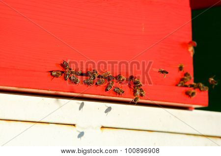 Domesticated Honeybees In Flight, Returning To Their Apiary