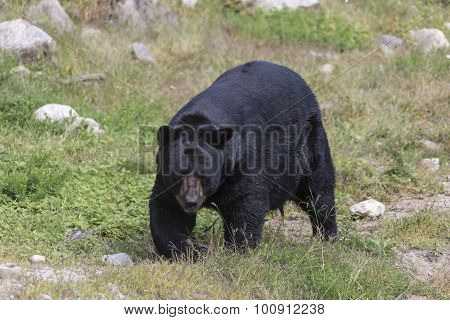 A lone, large Black bear walking