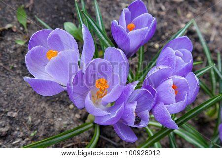 Bunch Of Violet Crocus Flowers