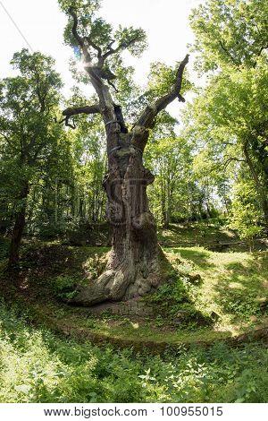 Memorable Oak Tree