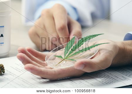 Doctor hand holding green cannabis leaf close up