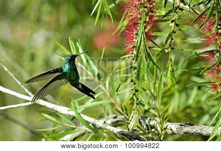 The Humming-bird, Cuban Emerald (chlorostilbon Ricordii)