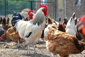 Chickens on traditional free range poultry farm. poster