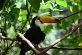 Toco toucan in the reserve of exotic tropical birds. Large bird with bright plumage and a huge yellow beak poster