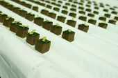 Baby lettuce plants on hydroponic culture with phenolic sponge poster