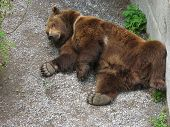 animal - braun bear in zoo very lazy poster