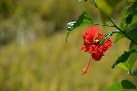 Common Balinese Flower