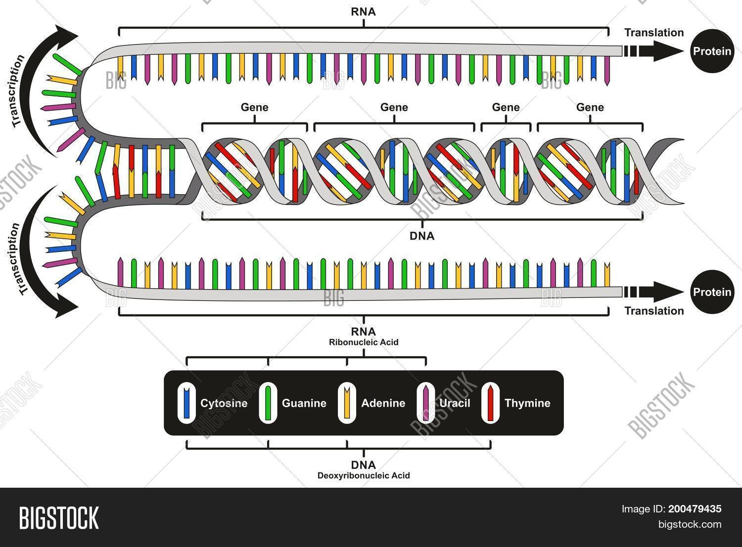 Central dogma gene expression image photo bigstock central dogma of gene expression infographic diagram showing the process of transcription and translation from dna ccuart Choice Image