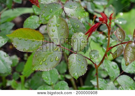 Rain drops on the leaves of the rose.