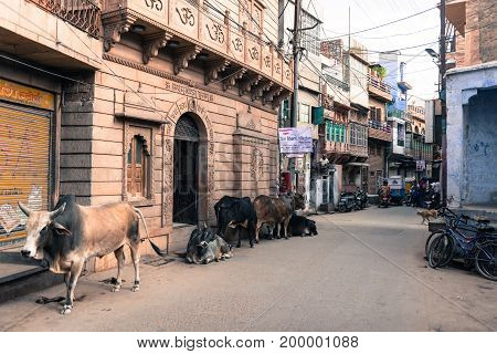 JODHPUR RAJASTHAN INDIA - MARCH 04 2016: Horizontal picture of many cows holy animal in old Jodhpur the blue city of Rajasthan in India.