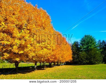 a row of Autumn sugar maple trees lining a field