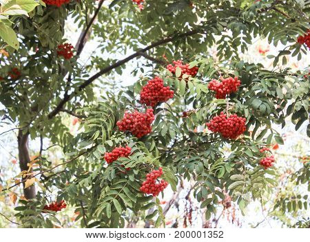 Bunches of red mountain ash hanging from the trees