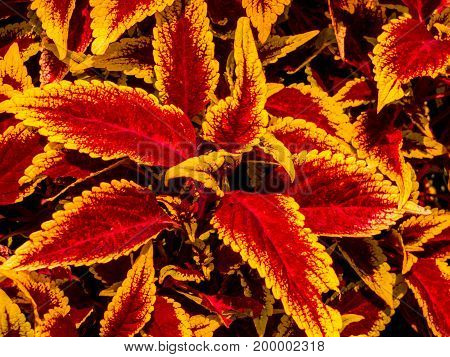 The beautiful colors of Coleus in a flower garden.