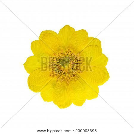 Pressed and dried flowers adonis isolated on white background. For use in scrapbooking pressed floristry (oshibana) or herbarium.