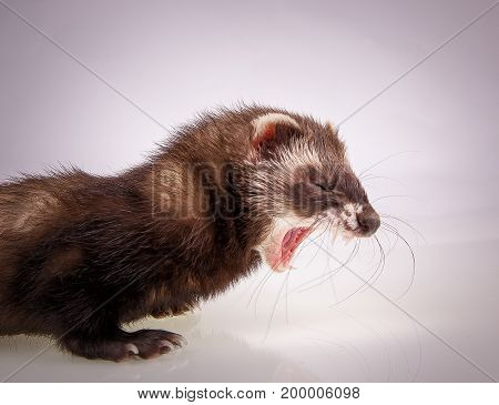 Portrait of cute young yawning sable ferret, close up view