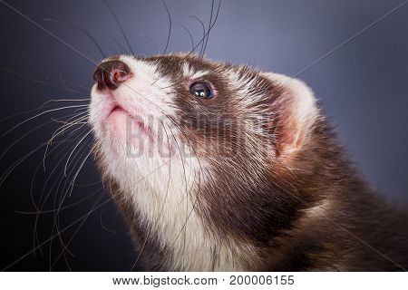 Portrait of cute young sable ferret, close up view