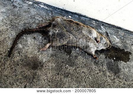 Dead rat on the ground art of life