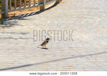 A Single small sparrow standing at land