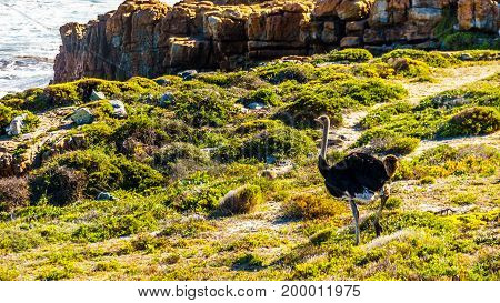 Male Ostrich in Cape Point Nature Reserve on the Cape Peninsula in South Africa
