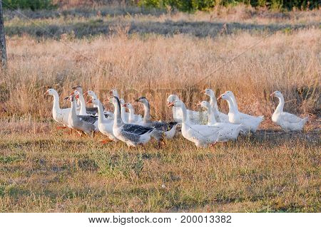 Flock of geese grazing on grass in summer field at sunset.