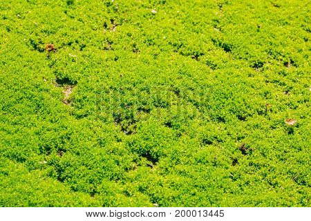 green moss background texture beautiful in nature forest
