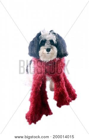 black and white dog. A black and white Havanese dog wears a red scarf. isolated on white. room for text.