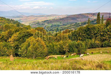 Cows Grazing On Rural Fields In Autumn