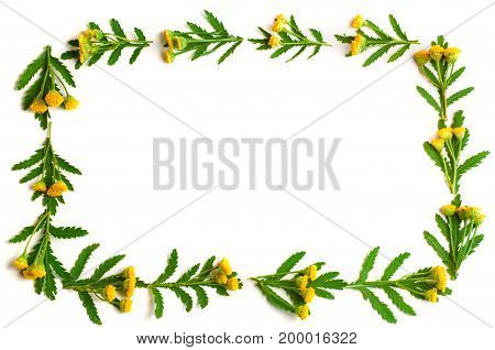 tansy with leaf isolated on a white background with copy space for your text. Top view. Medical herb.