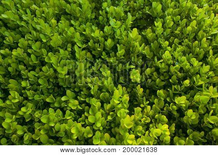 Green bush texture background of small leaves
