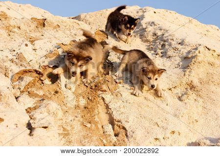 Puppies of Alaskan malamute close-up plucked from a mountain of sand in summer