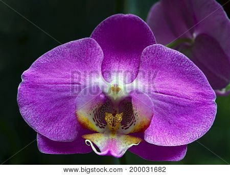 Orchid flower in tropical garden close up.Phalaenopsis Orchid flower growing on Tenerife,Canary Islands.Floral background.Selective focus.