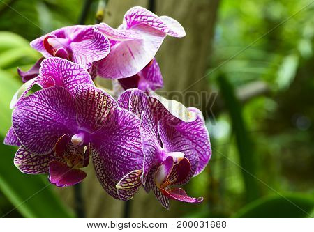 Orchid flower in tropical garden close up.Phalaenopsis Orchid flower with space for text.Floral background.Selective focus.