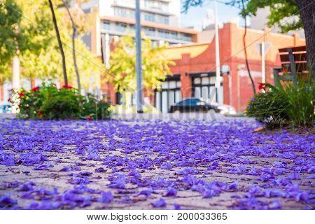 Jacaranda tree petals on the ground in Adelaide South Australia